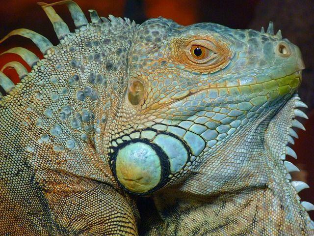 Iguana, Verde, Lagarto, Kaltblut, Reptile, Animal