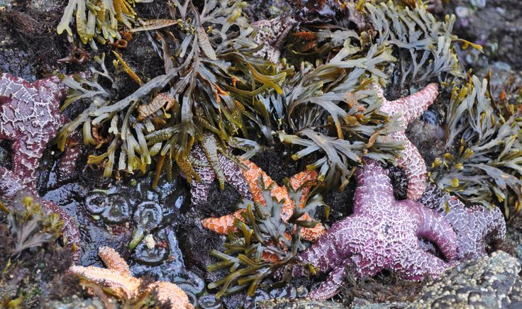 Tide-pool studies on Brady's Beach. Sept 2012