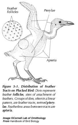 The 38 best Anatomy - Birds - prey images on Pinterest   Anatomy ...