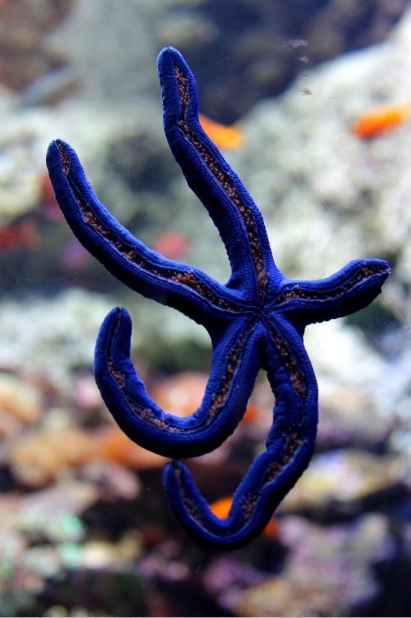 Australia blue star fish