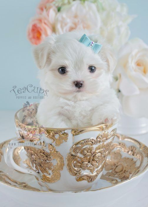 Pin By Dogmylove On Maltese Teacup Puppies Maltese Teacup