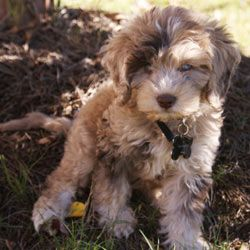 merle cockapoo for sale - Yahoo Search Results Yahoo Image Search Results