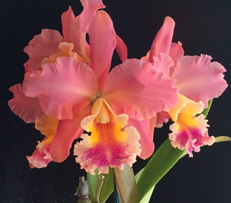 Inter-generic Orchid-hybrid Rlc: RynchoLaelioCattleya (Shot Silk x Delta Silk)