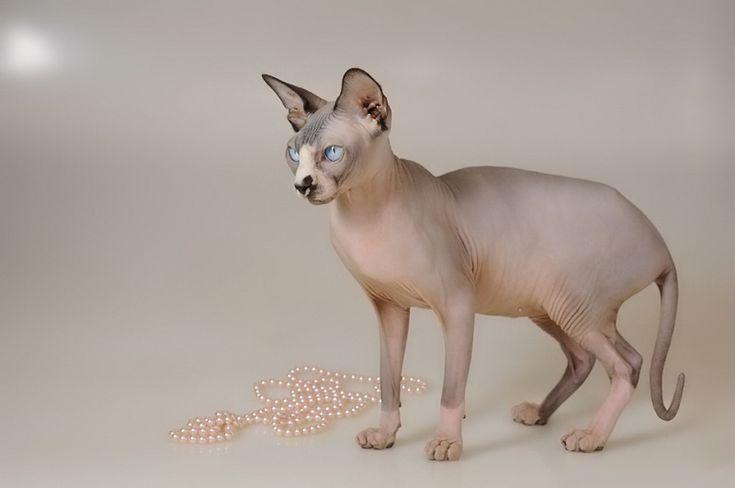 Красивое фото кошки породы канадский сфинкс