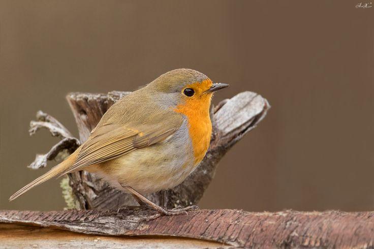 Pisco-de-peito-ruivo, European robin (Erithacus rubecula)