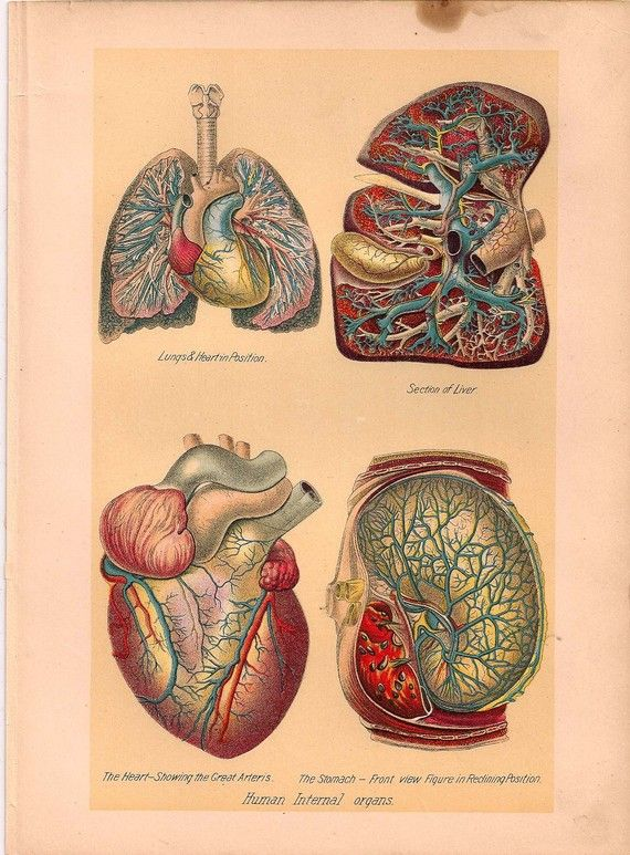 Antique Anatomy Print Heart and Lungs