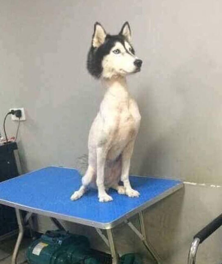17 Times Pet Haircuts Went So Wrong It S Hilarious Funnydoghaircuts Shitzu Dogs Funny Animals Dog Haircuts