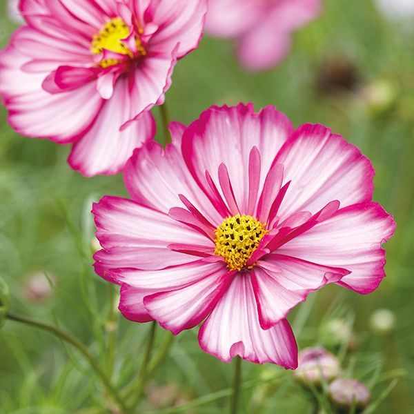 Cosmos Razzmatazz Violet Picotee Plants 12 95 From Mr Fothergills Seeds Cosmos Razzmatazz Violet Picotee In 2020 Plants Amazing Flowers Cosmos Flowers