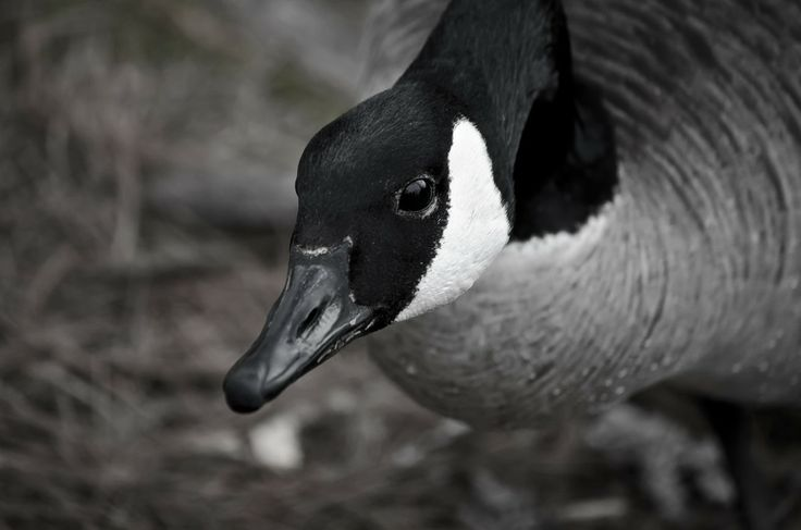 Canada Goose by Bob Betts on 500px