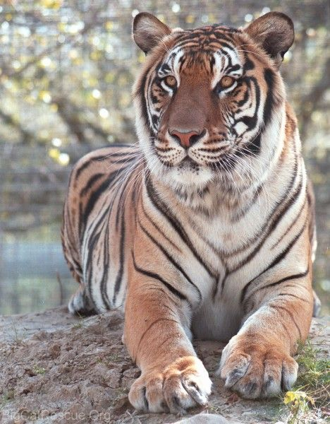 Tiger facts photos and videos, including siberian tiger, bengal tiger, amur tiger