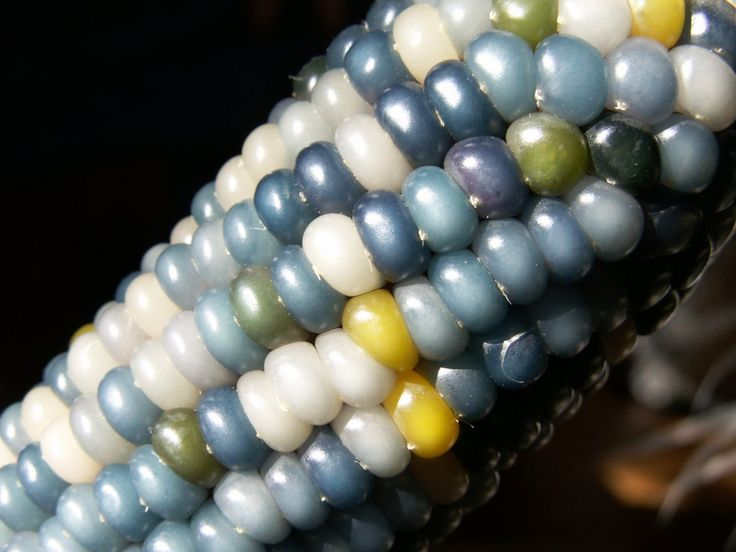 """Glass Gem is known as flint corn. The name """"flint"""" comes from the kernel's hard outer-layer."""
