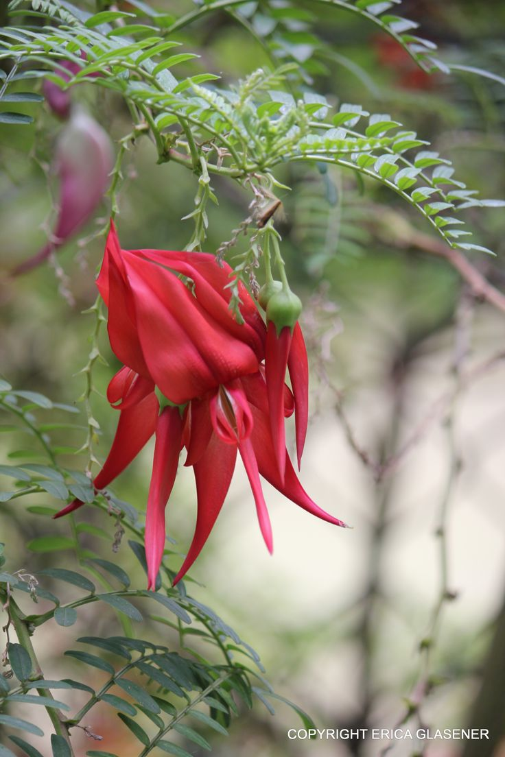 Clianthus puniceus (Kaka Beak after a large species of parrot that used to be common in New Zealand. Endangered - plant some!