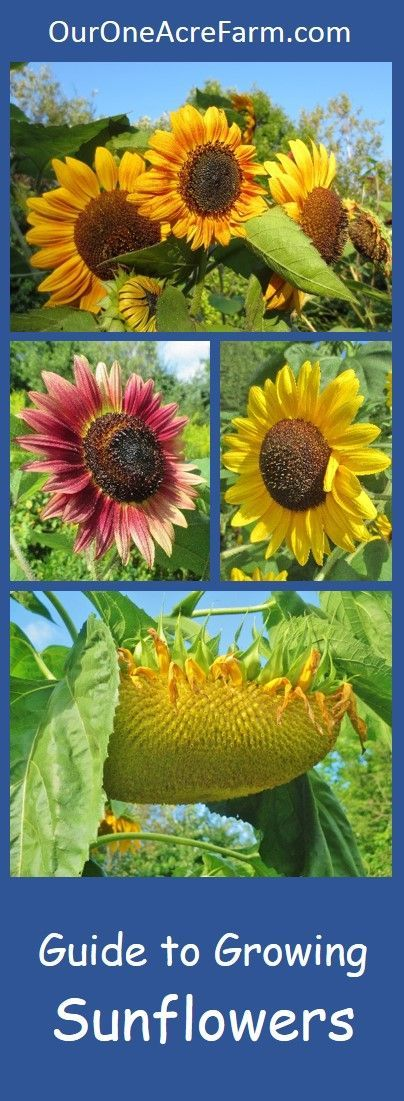 Covers planting and thinning sunflower seeds; common problems, pests and diseases; how sunflowers are pollinated; how to choose varieties; and how to harvest sunflower seeds. Thorough, organized for easy reading, and gorgeous photos.