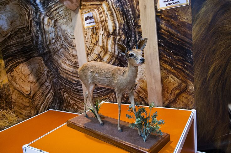 Steenbok antelope trophy seen during Polish Hunting Fairs - Hubertus EXPO 2015. Hunt beautiful beasts of the wild with us!