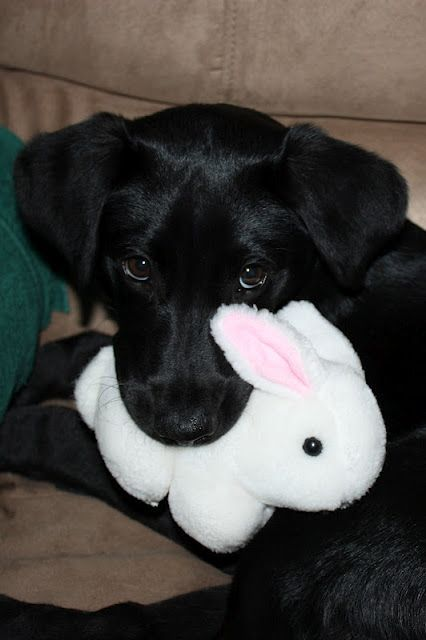 borador pup duncan at four months with his easter bunny