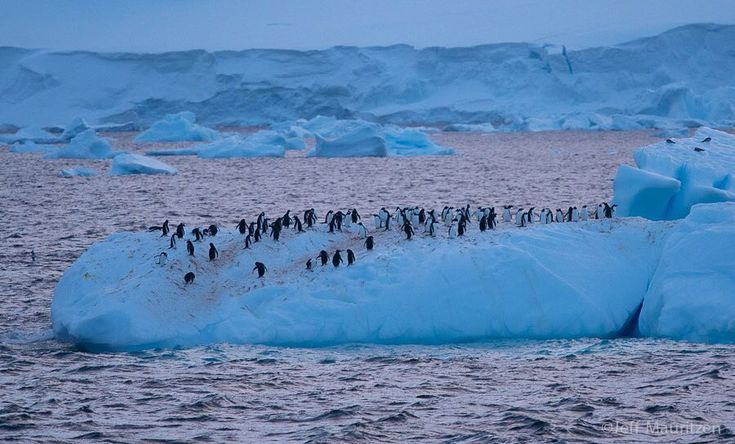 Photo by @jeffmauritzen. Ever wonder what midnight looks like down in #Antarctica during the summer? Here's tonight's (or this morning's?) We're on the Antarctic peninsula and north of the Antarctic Circle so the sun will indeed set but you'll have this beautiful twilight until the sun rises again in just a few hours. Pictured here are some Gentoo penguins chilling on an iceberg. For more adventures in #Antarctica please follow along as @jeffmauritzen travels aboard the National Geographic…