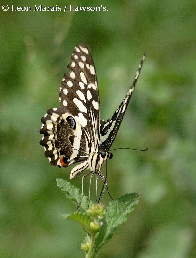 Citrus Swallowtail, #Nelspruit