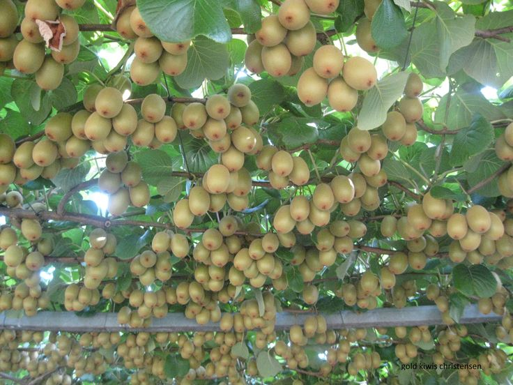 Gold Kiwifruit orchard