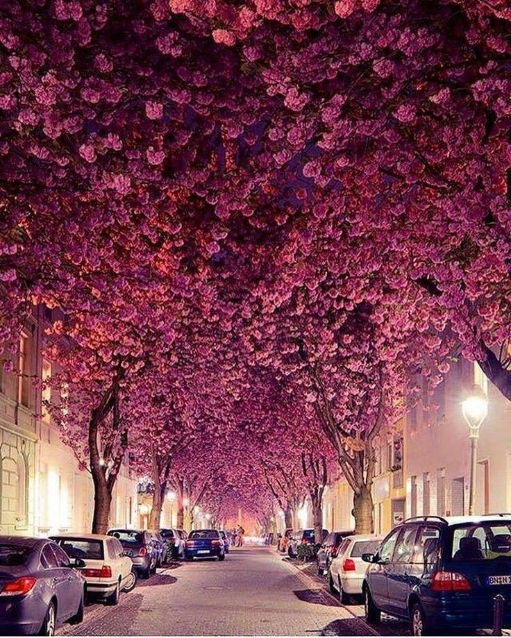 Céu de Cerejeiras em Bonn, na Alemanha!