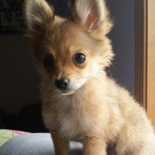 Pomeranian Chihuahua mix (Pomchi)