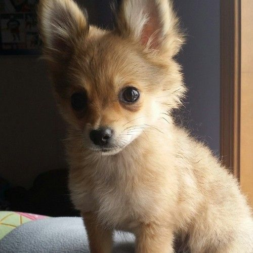 Pomeranian Chihuahua mix (Pomchi)                                                                                                                                                     More