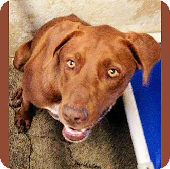ADOPTED !! CALIFORNIA Chance 1271413 is a Pointer