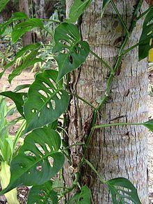 Epipremnum pinnatum VAV.jpg