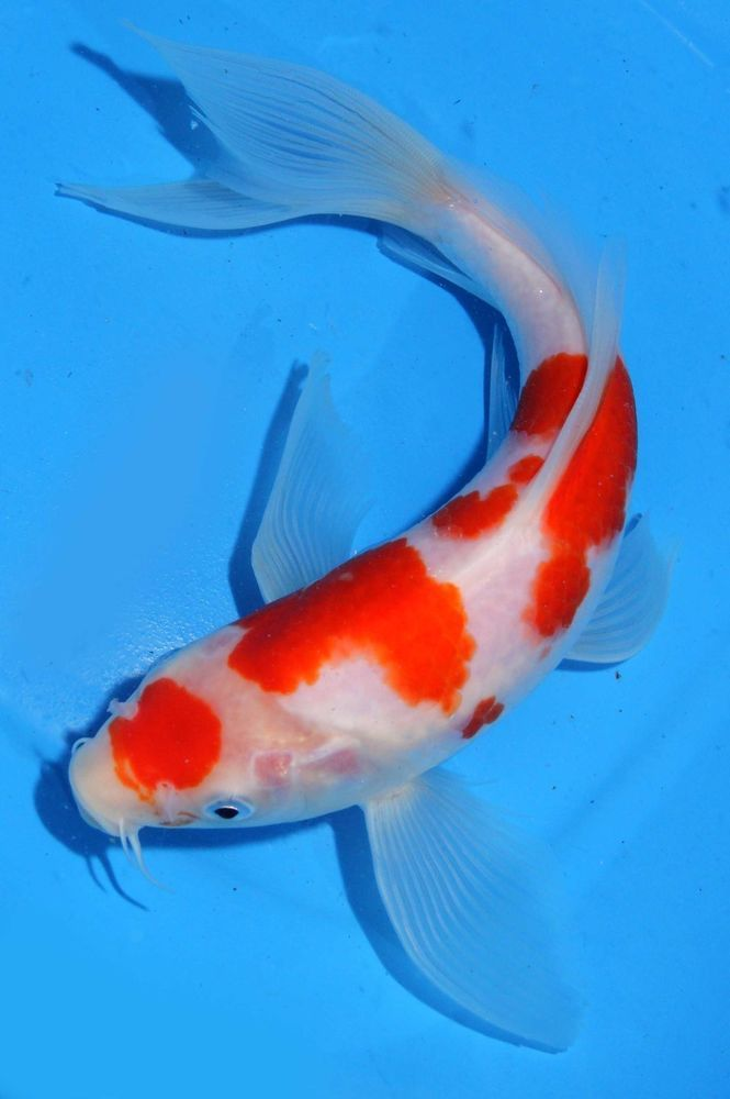 Live koi fish 9 10 kohaku butterfly red white long fins for Red and white koi fish