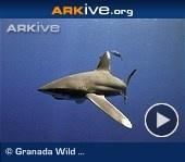 Oceanic whitetip shark  (Carcharhinus longimanus): Sharks Videos, Ocean Whitetip, Sharks Carcharhinus, Carcharhinus Longimanus, Whitetip Sharks