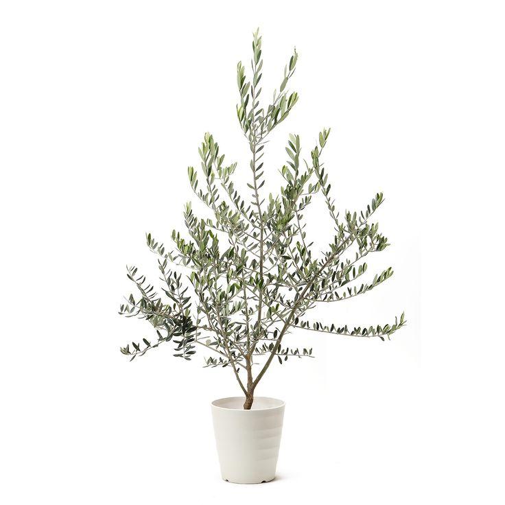 オリーブの木 <Mサイズ>
