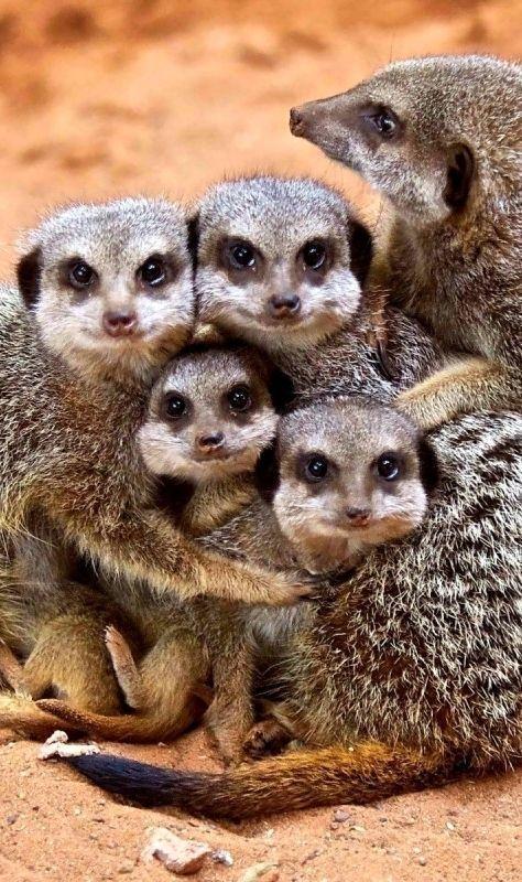 Baby #meerkats      #animals