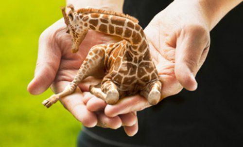 I wish mini giraffes existed,maybe then i could finally get one.