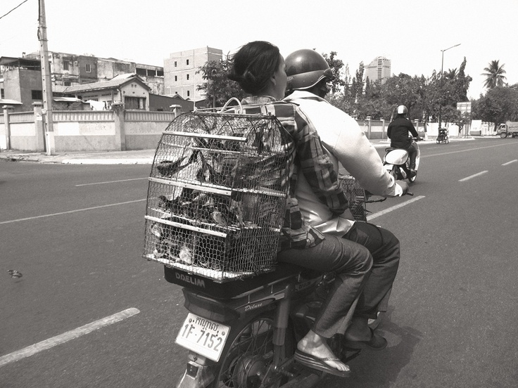 A Cambodian woman sits behind the rider, wrapping her arms around his waist for stability. She is heading to Wat Phnom with a cage full of small birds, held in place by a piece of string looped around her right shoulder.   They enable her to make a living, as Buddhists pay a small fee for their release - usually 3000r (75 cents) per bird. Most locals release a pair of birds, whereas the more affluent empty out entire cages. They believe that by releasing them they will achieve merit in…