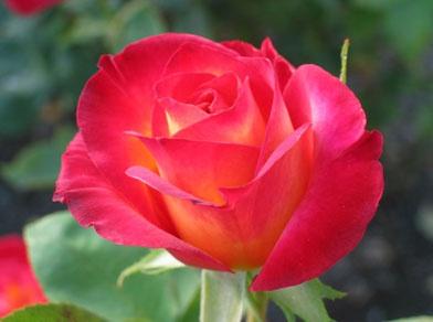 june birth flower - Emerson