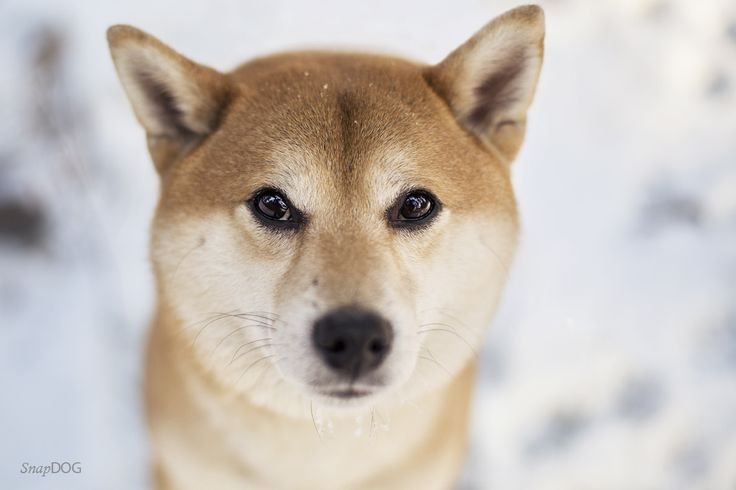 Beni - Shiba Inu - Beni, stunning boy from Japan.   More dog photos: https://www.facebook.com/SnapDogPL