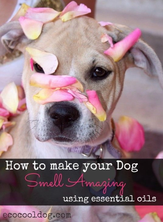 Here is an easy way you can make your dog smell amazing (with out a bath) using essential oils.
