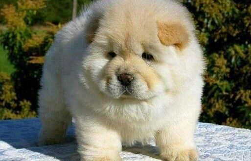 Loyal Chow Chow Puppies for Sale Features!