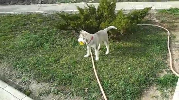 Funny Siberian husky playing with water hose - Too Cute!  I hope you will like video, if you do hit that Like button and don't forget to Comment and Subscribe( by YouTube Channel).  https://www.youtube.com/watch?v=IW9YI8B5JH4