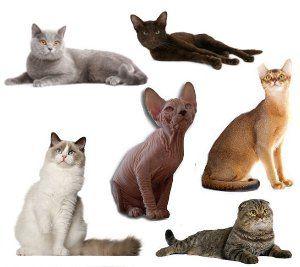 Existen más de 50 razas o clases de gatos domésticos, grandes, pequeños, etc., muchas son consecuencia de algún tipo de mutación. Vídeo y fotos con diferentes tipos de gatos.