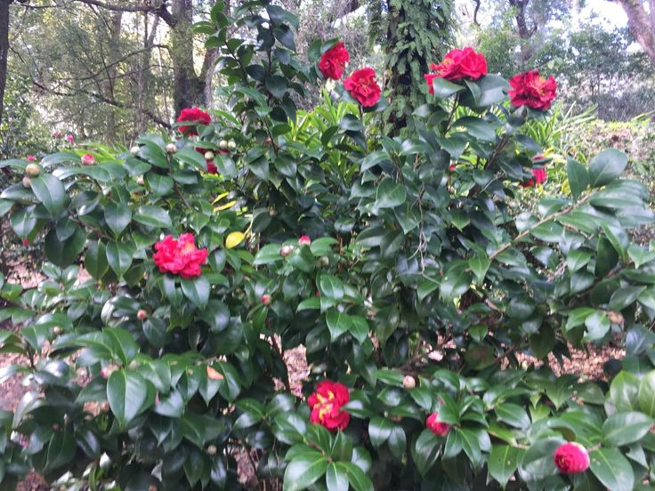 In the past, camellias could only be grown in U.S. hardiness zones 7 or higher. However, in recent years, plant breeders Dr. William Ackerman and Dr. Clifford Parks have introduced hardy camellias for zone 6. Learn more about these hardy camellia plants here.