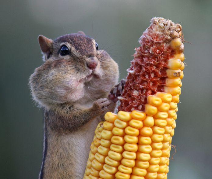 Squirrel on the Cob ( For more funny images, visit www.FunnyNeel.com ). Follow us www.pinterest.com/webneel/funny-neel-com