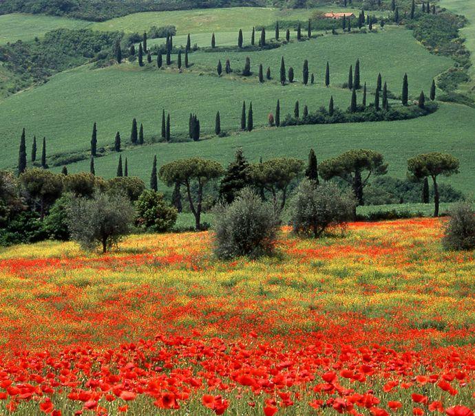 Tuscany Italy - Zigzag and Poppies, La Foce