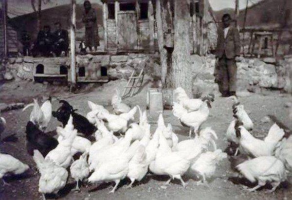 Isparta-Gölköy Köy Enstitüsü hayvancılık dersi