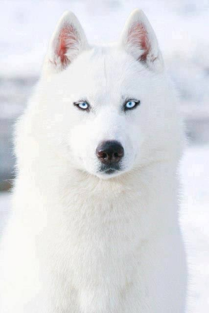 i dont know what to say for this amazing, beautiful Husky gorgeous blue eyes