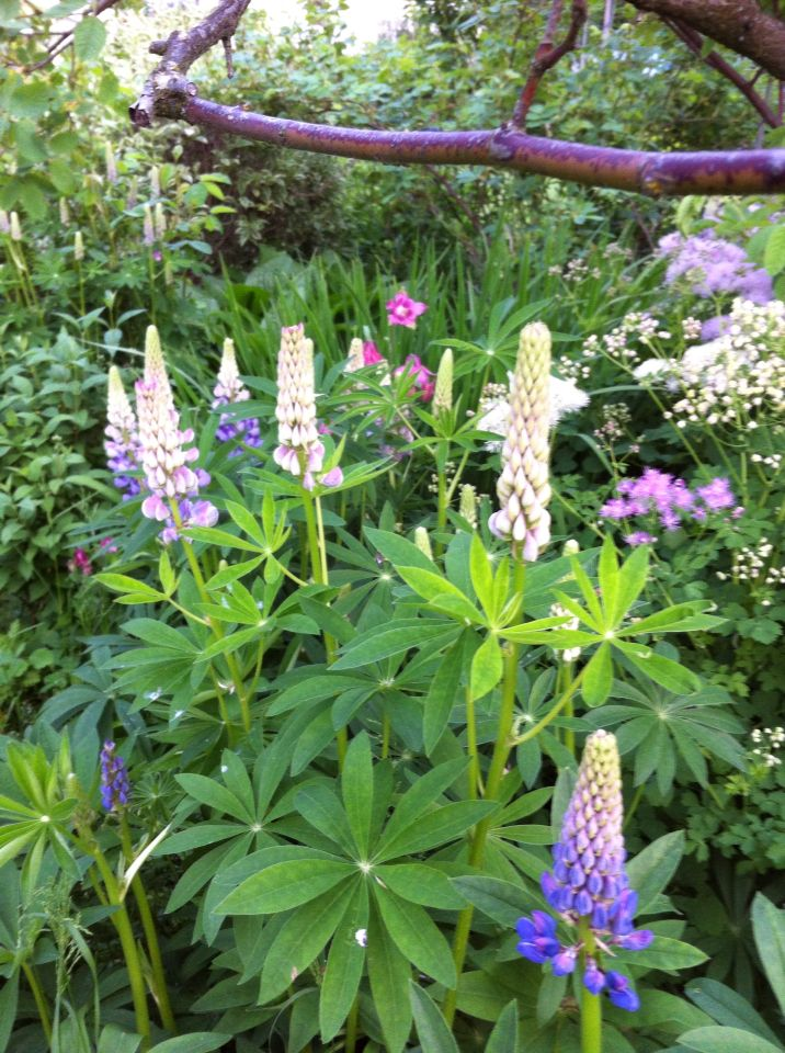 Blomster i min hage, den vakre umulige revebjellen.
