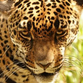 The steel eyes of a Jaguar in Costa Rica