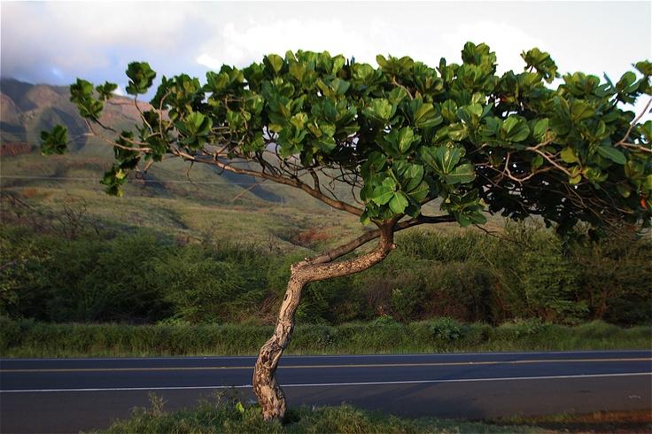 Hawaii: Green Thumb, Favorite Places, Travel Dreams, Insanity Nature, Amazing Trees, Hawaiian Islands, Amazing Sight, Trees Hug, Earth Beautiful