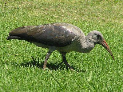 Hadida Bird