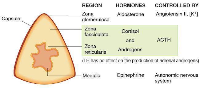Adrenal Cortex Regions