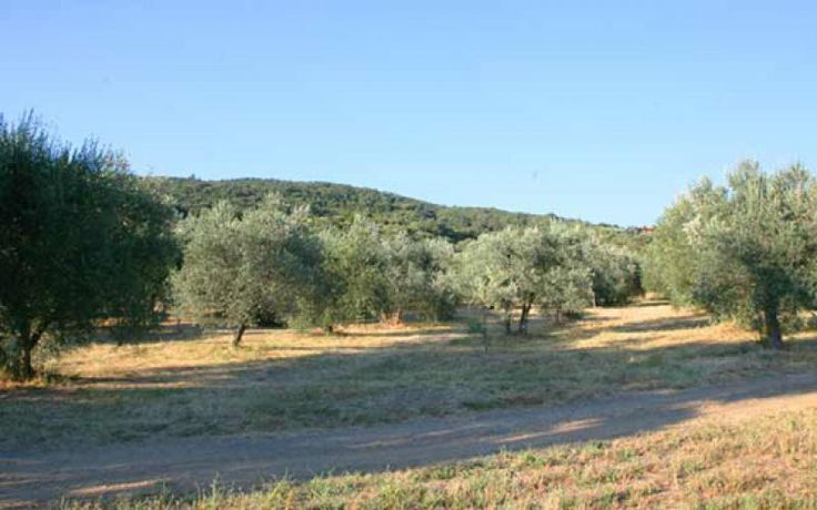 The olive tree is one of the most important symbols of the Maremma area, in Tuscany.